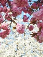 wonderful cherry tree blossoming