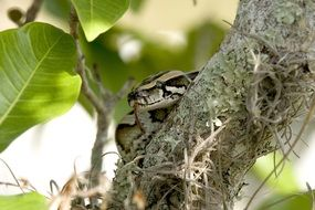 camouflaged python on the tree