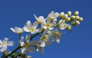 white bloom of a apple tree against a bright blue sky