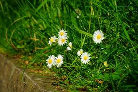 white daisies among high green grass