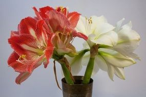 red and white amaryllis flowers