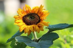 sunflower with a dark heart on a thick stalk