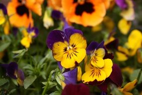 Yellow Pansy Macro