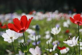 red and white Anemones on meadow