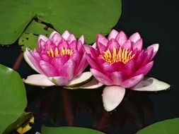 two pink lotuses on the pond