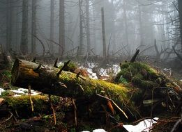 moss on fallen trees in a foggy forest
