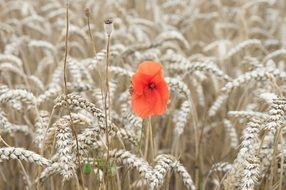 poppy on a pale wheat field