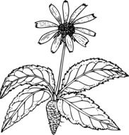 outline drawing of a wild flower with root