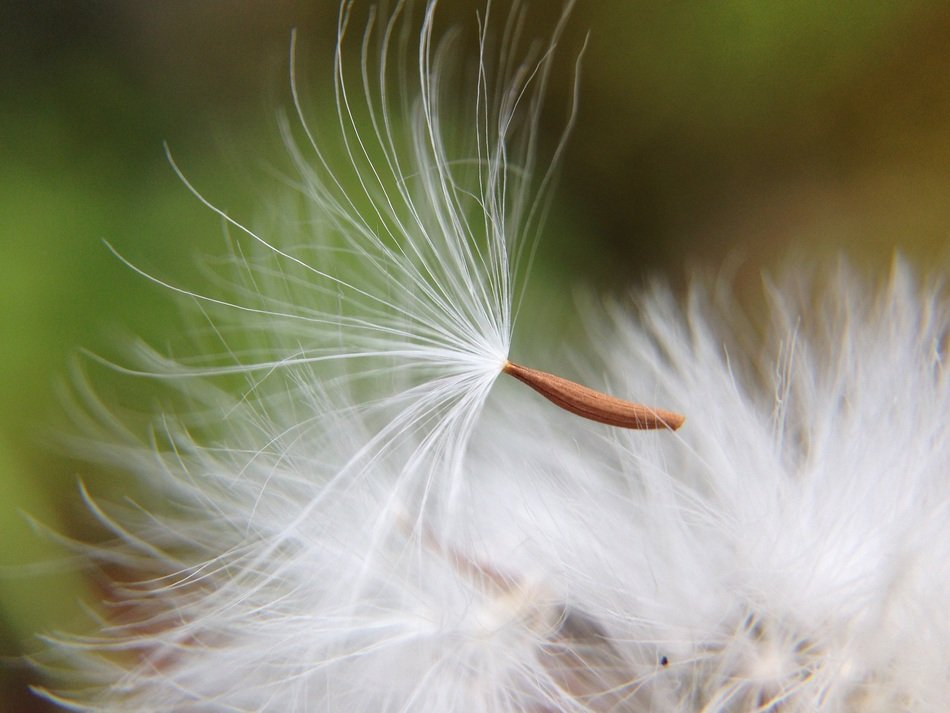 dandelion seed and white fluff close-up on blurred background