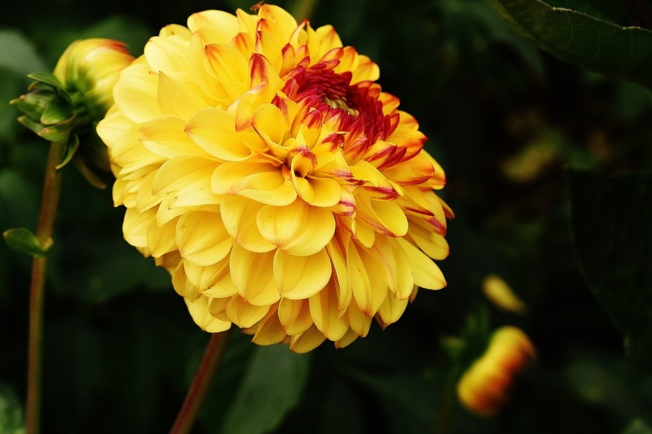 yellow dahlia flower in the autumn garden
