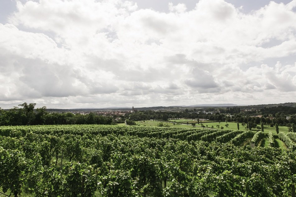 Landscape of green vineyards