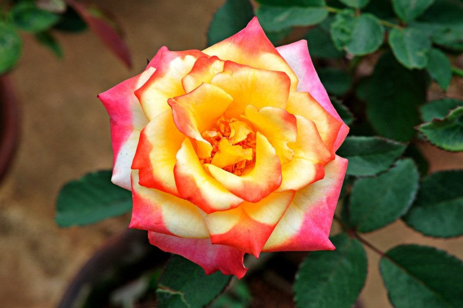Colorful rose in a garden
