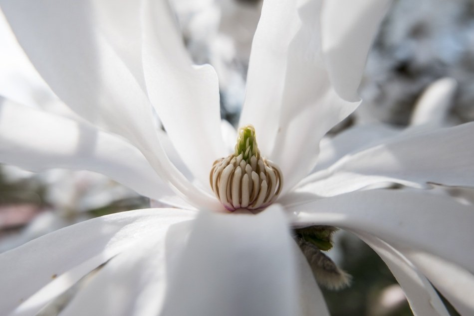 Close-up of the core of the beautiful big white star magnolia flower