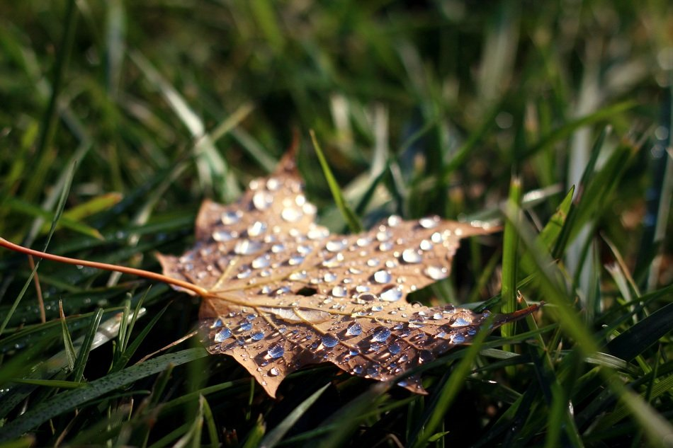 dry maple leaf in dew