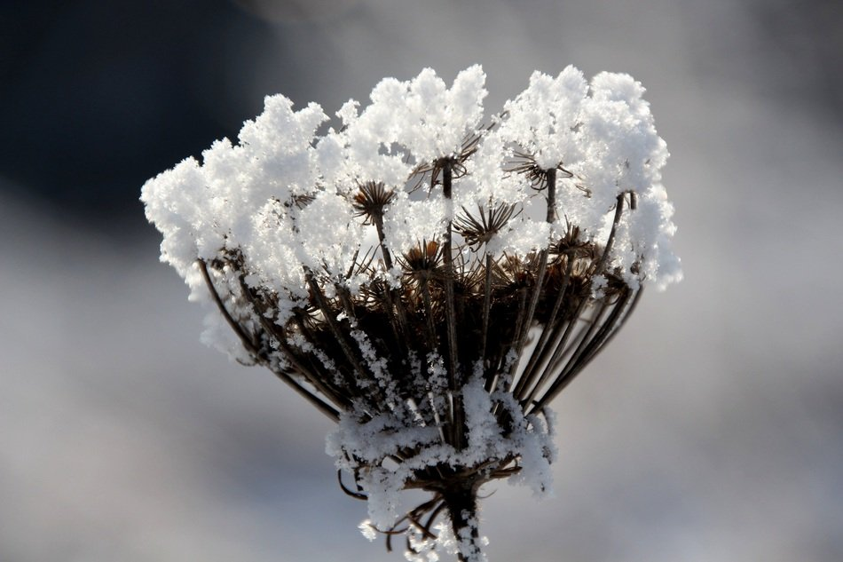 Frost on beautiful dry plant blossoming flowers, Winter Magic