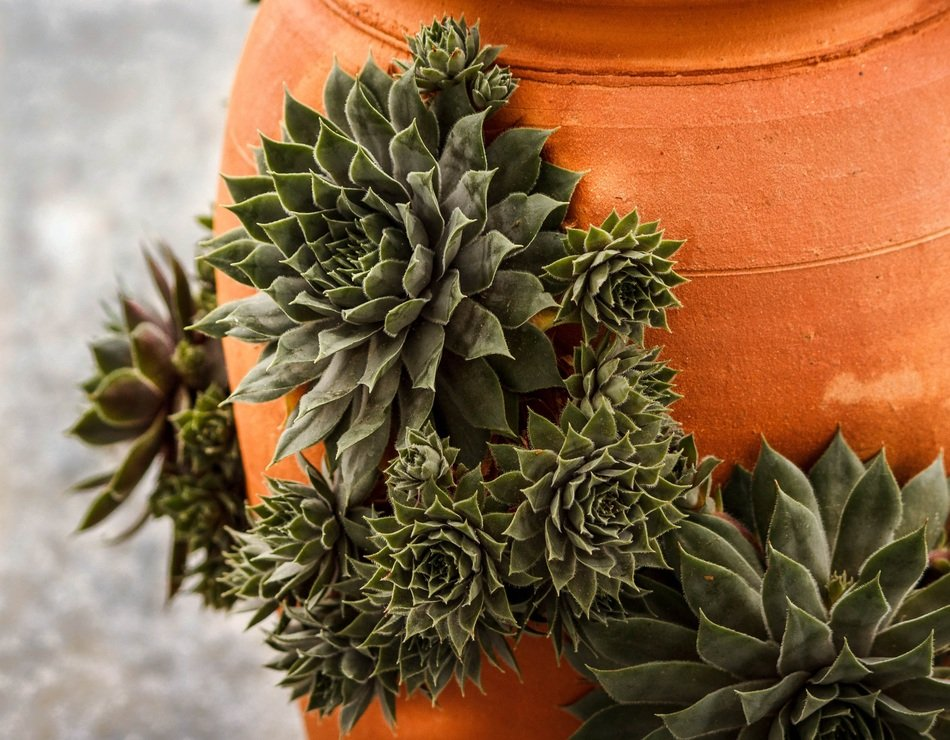 green succulents on a clay flower pot