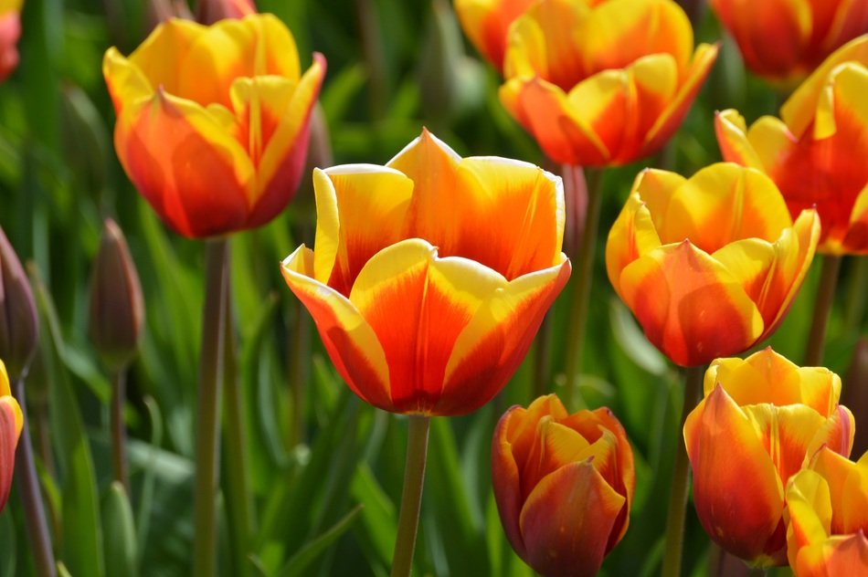 yellow-red tulips in a botanical garden