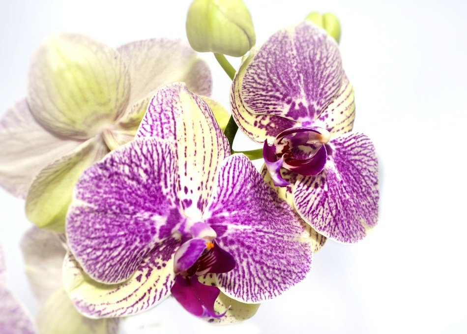 motley white-purple orchid close up