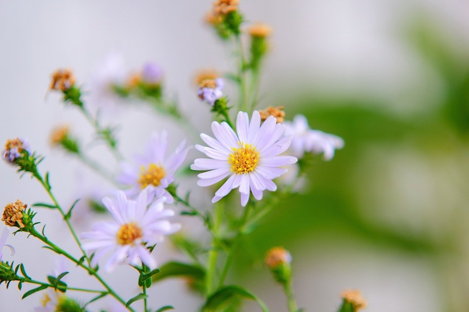 perennial aster Flowers close up