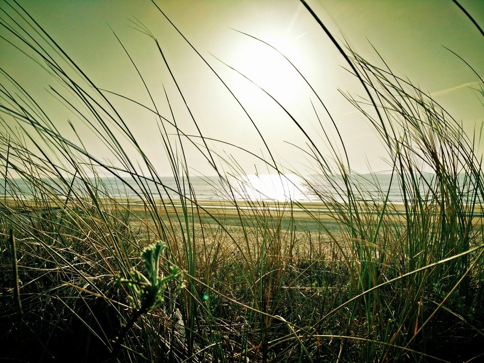 grass on a sand dune near north sea, netherlands