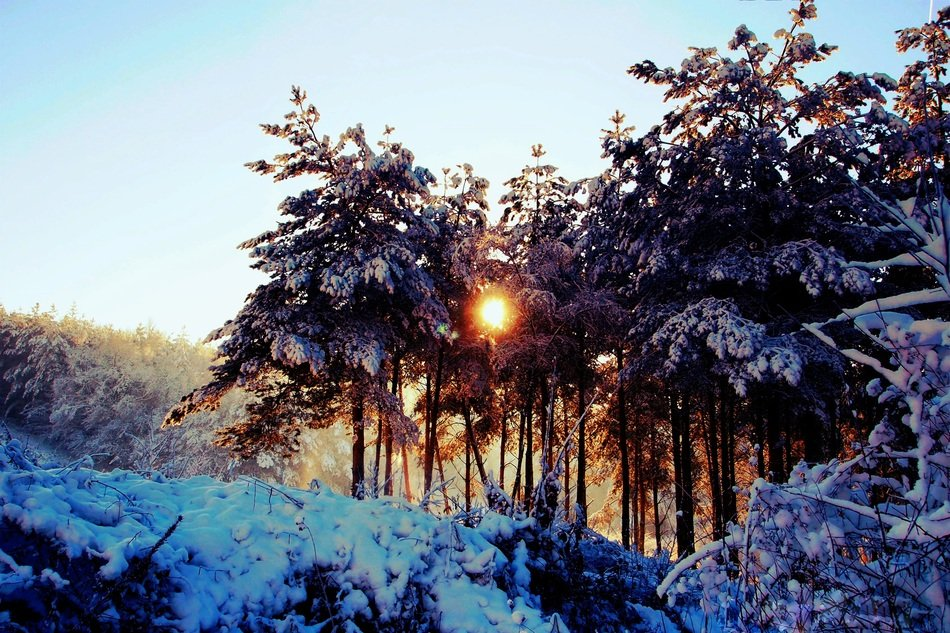 rising sun through coniferous snow-covered trees