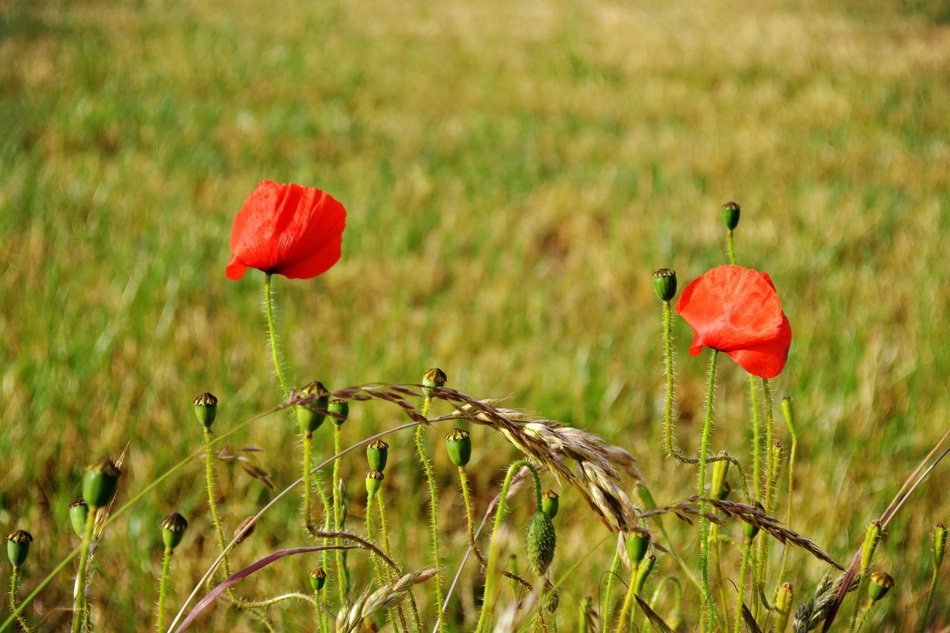 two red poppies on a green field