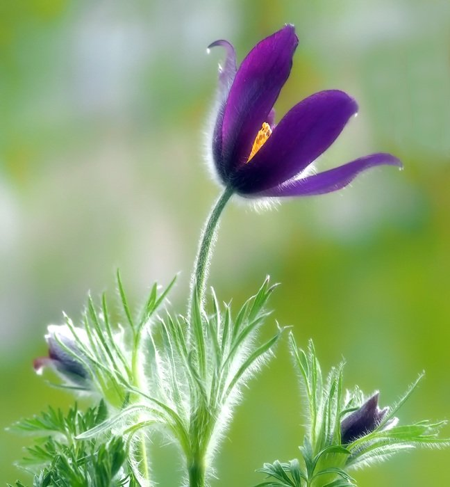 Beautiful violet pulsatilla pasque flowers at blurred background
