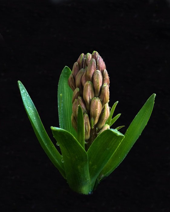 Hyacinth Flower Plant Flowers