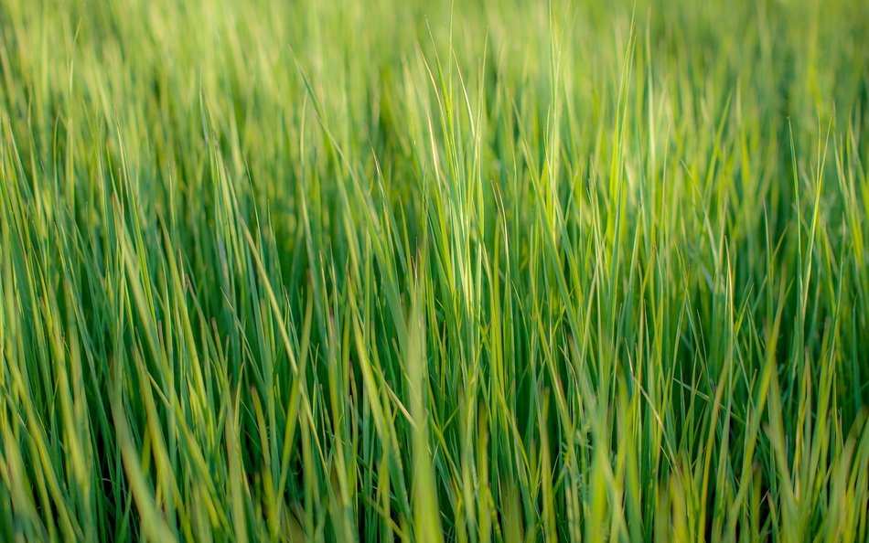tall green grass close-up