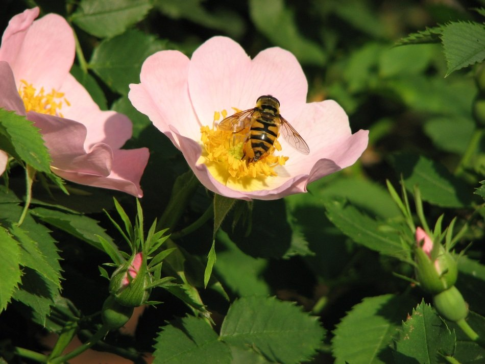 bee on a pink wild rose flower