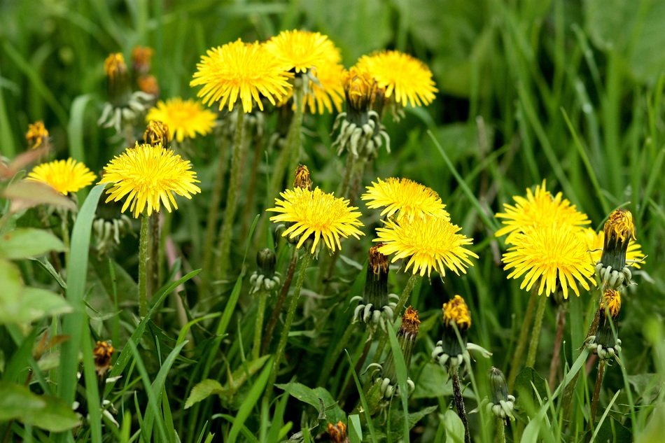 yellow dandelions in early summer