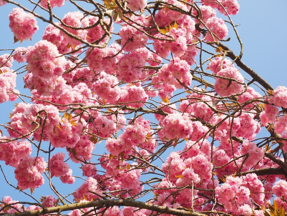 charming blooming of cherry tree
