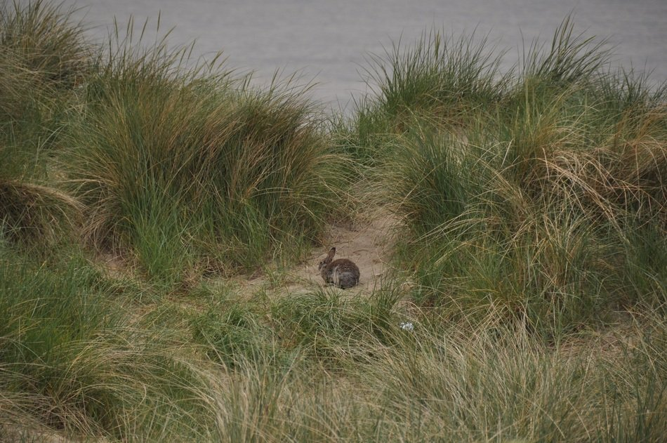 rabbit on the sand among the marram grass