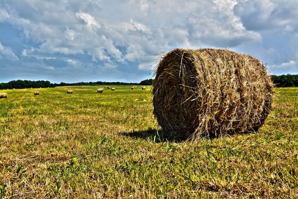 hay in bales on the field