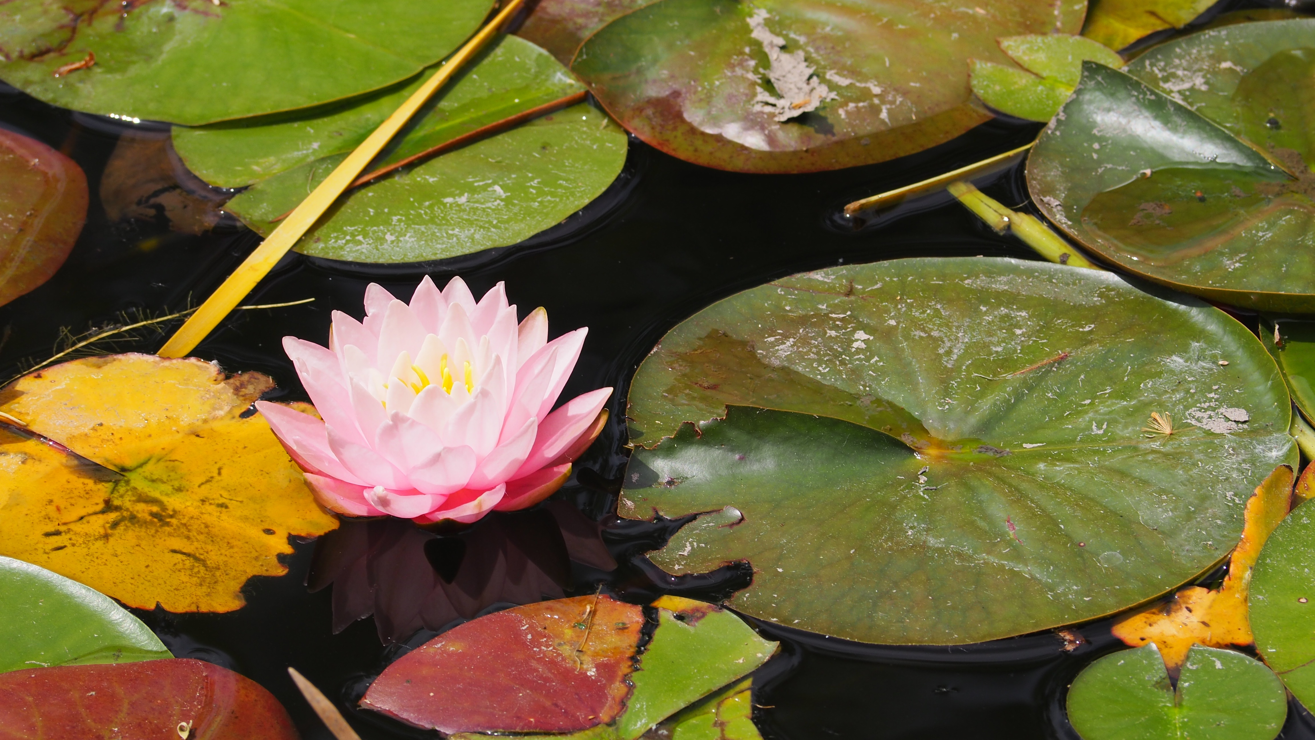 Perfect Pink Lotus Flower Free Image