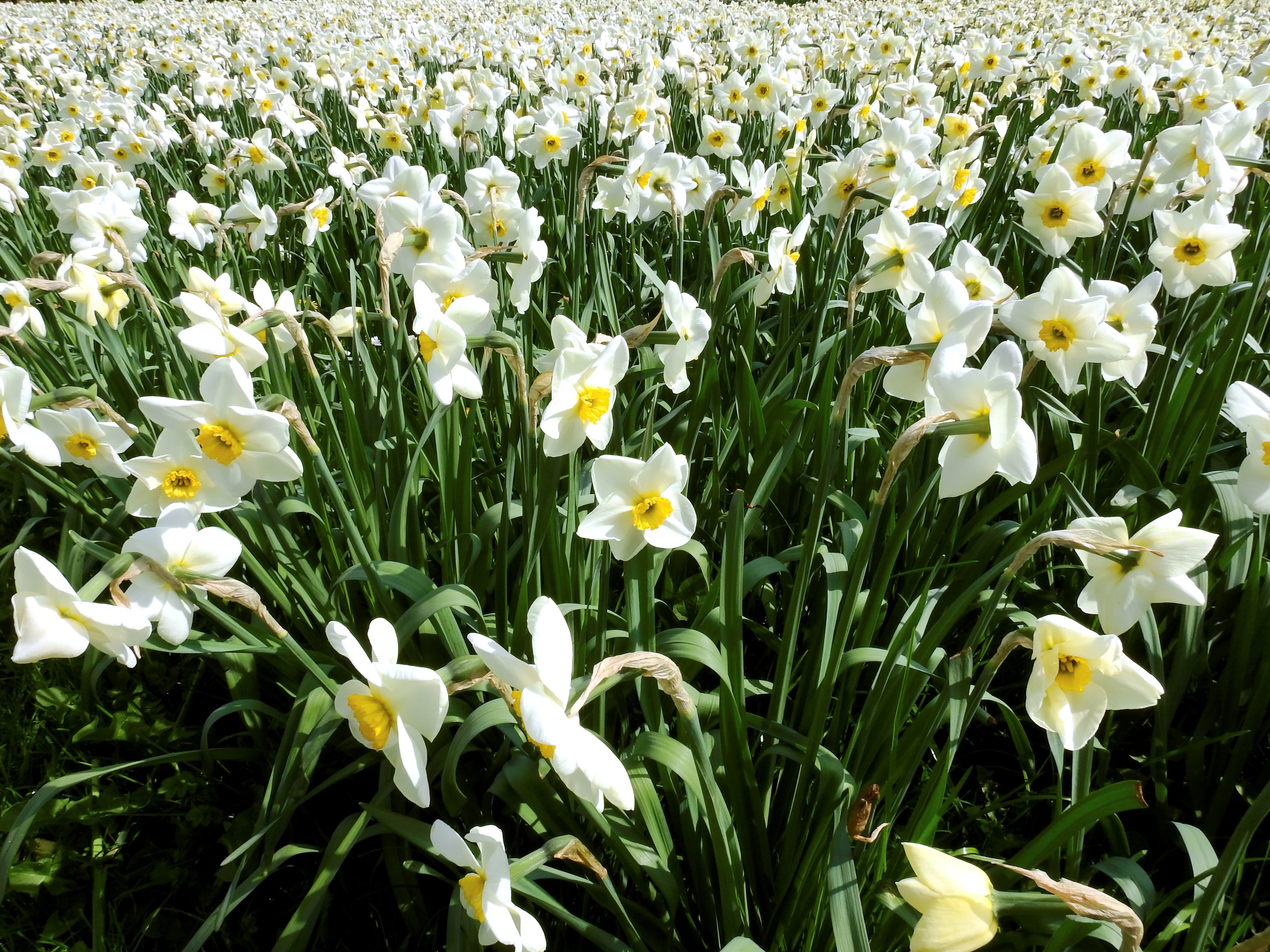 Field Of White Narcissus Flowers Free Image