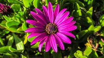 african daisy in the garden