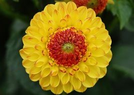 lush yellow dahlia with red veins