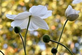 white anemone blossoms