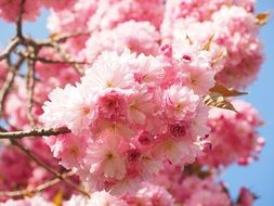 wallpaper with pink cherry blossoms