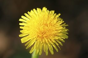 Yellow Dandelion in a Meadow