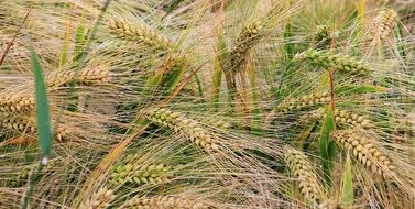 ears of wheat field close-up