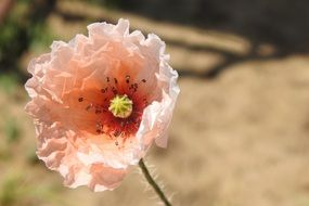 Pink poppy flower blossoms