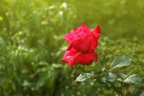 Beautiful red rose in morning dew at blurred green background