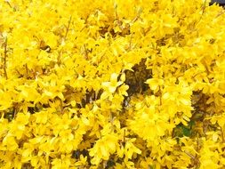 Forsythia Blossoms Branches