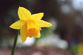 yellow daffodil flower in early spring