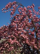 ornamental japanese cherry tree in spring