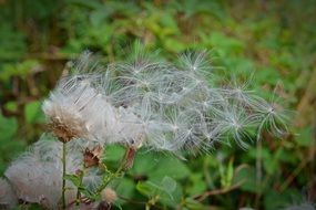 flying seeds of a dandelion