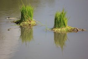 green rice plant in water