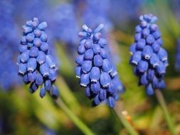 delicate muscari flowers